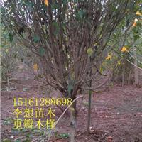 江苏6公分木槿报价木槿图片