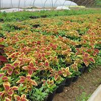 佛甲草、狼尾草、虎耳草、菲白竹、金叶苔草、斑叶芒、紫娇花
