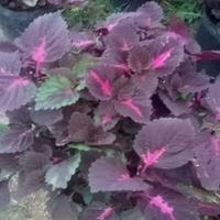 聚草、苦草、慈姑、芡實、香菇草、荇菜、水禾、水罌粟、鳳眼蓮