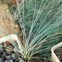 芦苇价格-芦苇批发-芦苇图片-芦苇苗木基地-芦苇小苗