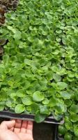 山東青州四季海棠種植基地四季海棠價格