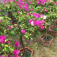 漳州櫻花三角梅