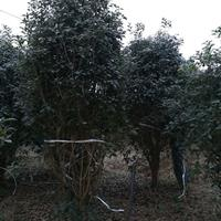 那里有便宜点的桂花树 合肥便宜的桂花树批发处理 桂花价格便宜