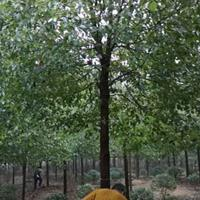 安徽精品香樟树 合肥干直香樟价格优势 杆直香樟价格便宜处理