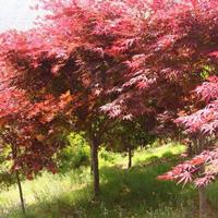 供應江蘇紅楓紅楓報價紅楓圖片紅楓