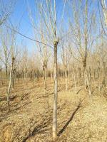 15公分的青檀树