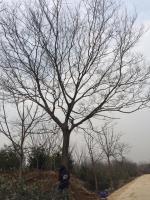樸樹15-50供應質優價廉
