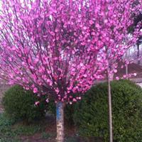 [供应]红梅,绿梅,美人梅,榆叶梅等各种梅花品种