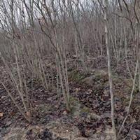河南地区供应3-6个头紫荆,自家种植