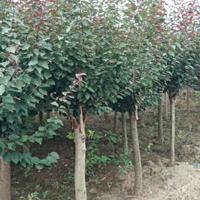 [供應]供應:桂花.金銀木、丁香、木槿、紅瑞木、繡線菊、桅子