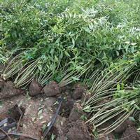 [供应]江苏连翘基地,自产批发连翘小苗,连翘绿化苗木苗圃价格
