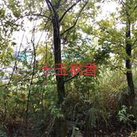 江西九江10公分枫香图片/10公分枫香报价