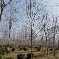 大量供应大小规格红枫,美国红枫日本红枫量大优惠