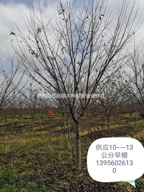 肥西县红旗苗木合作社供应,红叶李,三角枫,乌桕,榉树,栾树,