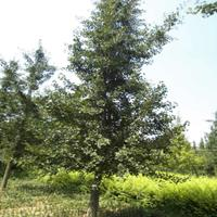 江蘇銀杏樹價格 蘇北白果樹行情 優質的江蘇硬性低價批發處理