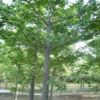 落葉喬木銀杏樹批發 江蘇是銀杏樹的中產區之一價格便宜