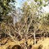 金银木冠1.5米,高度2米,低价销售中