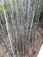 竹杆价格竹子批发苦竹杆2元3公分