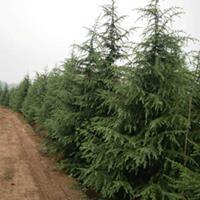 山东雪松(香柏)雪松树3米价格