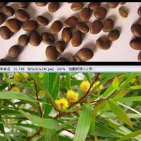 大量出售台湾相思种子/台湾相思种子批发价格