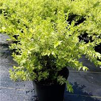 花叶香桃木 优质地被植物花叶香桃木小苗 沭阳花叶香桃木介绍