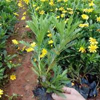 黄金菊*选沭阳大量出售黄金菊小苗 黄金菊价格