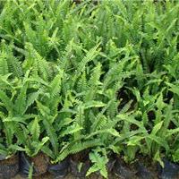 沭陽基地直銷腎蕨 地被植物腎蕨小苗價格