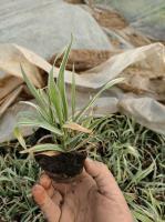 山東玉帶草基地,玉帶草價格供應