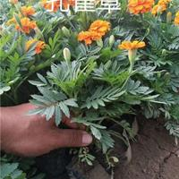 孔雀草 一年生草本植物孔雀草小苗沭阳高30-100孔雀草价格