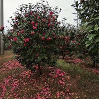 茶花树/香樟树/红枫/青枫/脐橙苗/红花继木
