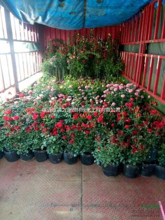 批量供应欧洲月季 品种月季 藤本月季 树状月季 欧月盆栽