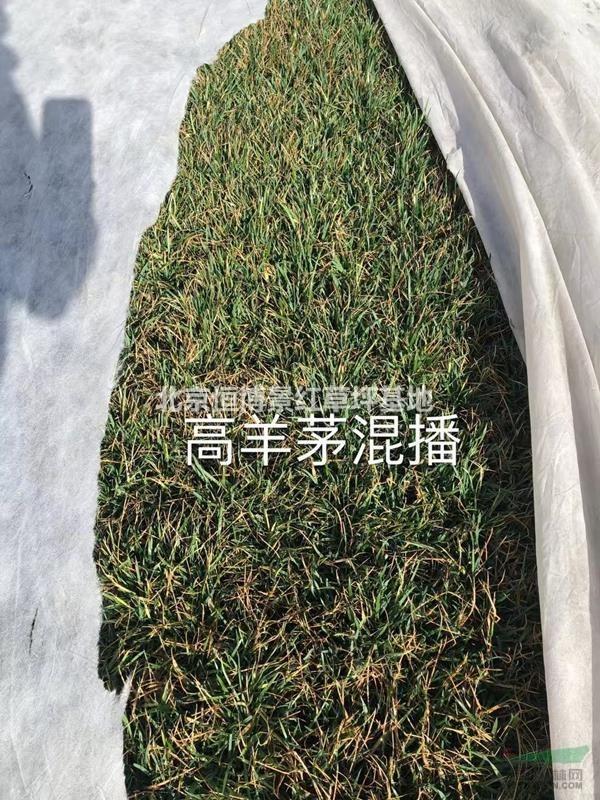 草坪返青了,正是种植的好时候