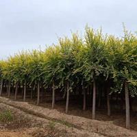 河北金叶榆 保定金叶榆 金叶榆价格 金叶榆繁殖方法