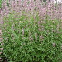 青州高山紫苑批发,山东高山紫苑种植