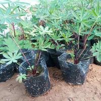 羽扇豆,青州羽扇豆批发基地