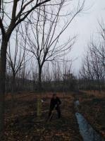 18公分重陽木
