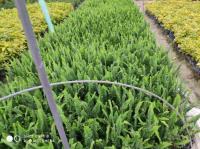 排骨草腎蕨漳州馬口永盛園藝直銷 可供400000袋