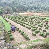 专供贵州马尼拉草皮