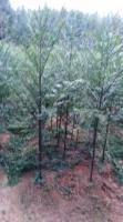 珍稀樹種南方紅豆杉