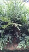 藥用價值書種南方紅豆杉