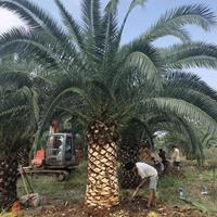 海枣批发 500亩海枣基地农户直销 一手货源