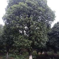 供应30公分桂花树 35公分桂花树