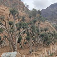 大量绿化树,油橄榄,油橄榄盆景出售。需要联系