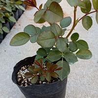 批量供应欧月小杯苗 月季盆栽 树状月季 藤本月季