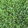 冷季型混播草坪四季青早熟禾草坪出售