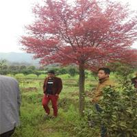 大量供應18公分嫁接日本紅楓價格便宜