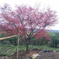 中国红枫 欧洲红枫 红枫价格