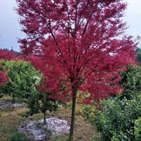大量出售 常年红 三季红枫价格便宜