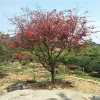 美國紅楓批發 叢生紅楓 日本紅楓批發