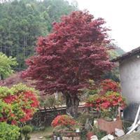 欧洲红枫批发 常年红批发